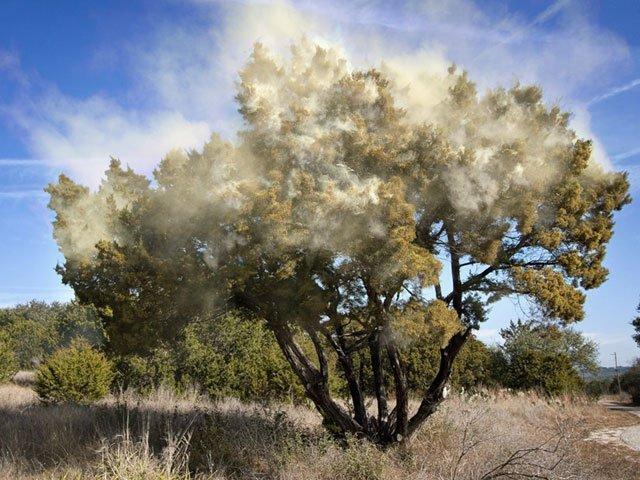 Pollen from a Cedar tree in Austin. Aaaaacchhooooo!